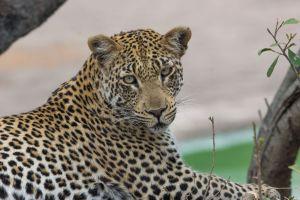 LeopardHd.jpg