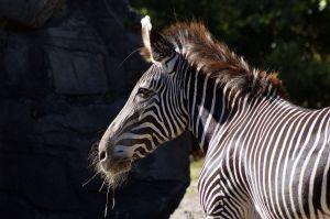 Zebraws.jpg